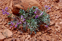 Canyonland Wildflowers